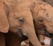 Éléphants de bébé Image libre de droits