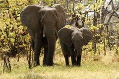 Éléphants de Bush d'Africain Images stock