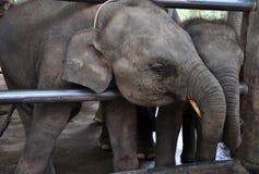 Éléphants de chéri agissant l'un sur l'autre Photos stock