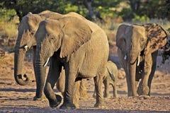 Éléphants de désert, désert de la Namibie Photos stock