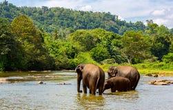 Éléphants de Fanny en rivière de jungle Photographie stock libre de droits