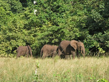 Éléphants de forêt, Gabon, Afrique de l'ouest Image stock
