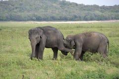Éléphants de groupe dans la savane Photos libres de droits