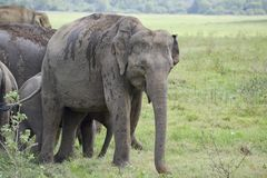 Éléphants de groupe dans la savane Image stock