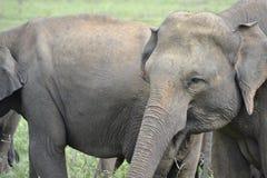 Éléphants de groupe dans la savane Images stock