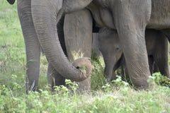 Éléphants de groupe dans la savane Images libres de droits