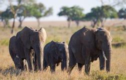 Éléphants de groupe dans la savane l'afrique kenya tanzania serengeti Maasai Mara Image stock