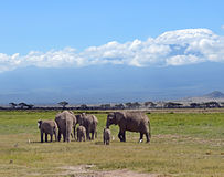 Éléphants de Kilimanjaro Photo stock