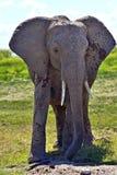 Éléphants de Kilimanjaro Photo libre de droits