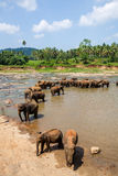 Éléphants de l'orphelinat d'éléphant de Pinnawala se baignant en rivière Images stock