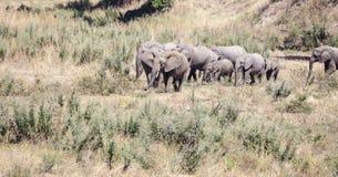 Éléphants de marche en Afrique Photographie stock