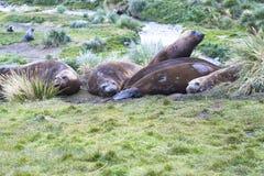 Éléphants de mer Image libre de droits