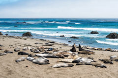 Éléphants de mer Images libres de droits