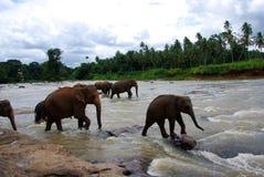 Éléphants de rivière Photographie stock