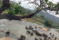 Éléphants de rivière Photo libre de droits