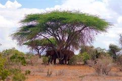 Éléphants de sommeil en parc national Afrique du Kenya Tsavo image stock