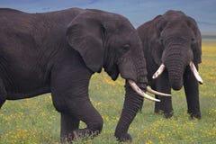 Éléphants de Taureau épargnant dans le cratère image stock