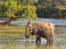 Éléphants de Yala Images libres de droits