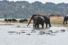 Éléphants derrière un groupe d'hippopotame sur la Manche de Kazinga, Ouganda photo libre de droits