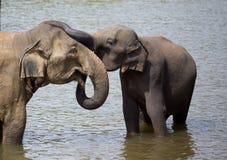 Éléphants embrassant en rivière Images stock