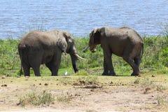 Éléphants en Afrique Images libres de droits