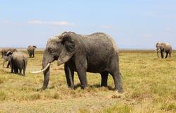 Éléphants en Afrique Photographie stock libre de droits