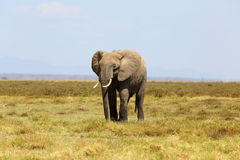 Éléphants en Afrique Photographie stock