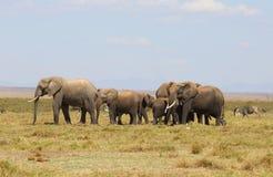 Éléphants en Afrique Photo libre de droits