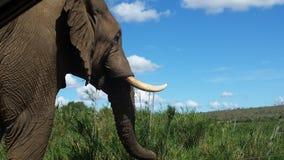 Éléphants en Afrique du Sud Images libres de droits
