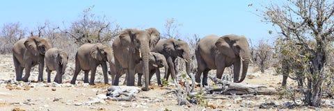 Éléphants en parc Namibie d'Etosha Image stock
