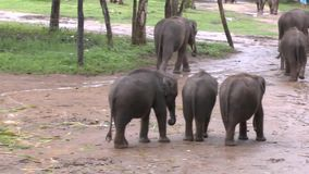 Éléphants en parc national d'Udawalawe banque de vidéos