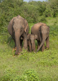 Éléphants en parc national d'udawalawe Image stock