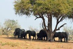 Éléphants en parc national de Chobe, Botswana Photo stock