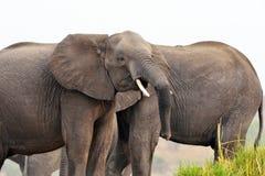 Éléphants en parc national de Chobe, Botswana Photos stock