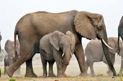 Éléphants en parc national de Chobe, Botswana Photo libre de droits