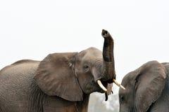 Éléphants en parc national de Chobe, Botswana Image stock