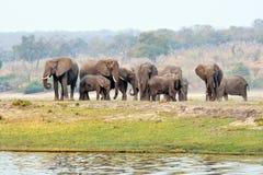 Éléphants en parc national de Chobe, Botswana Photographie stock libre de droits
