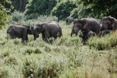 Éléphants en parc national de Sri Lanka photo stock