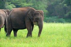 Éléphants en parc national de Sri Lanka Image libre de droits