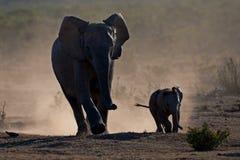 Éléphants en poussière Photos stock