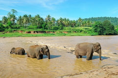 Éléphants en rivière Photos stock