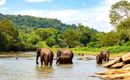 Éléphants en rivière Photo stock