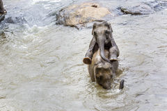 Éléphants en rivière Maha Oya au pinnawala Image libre de droits