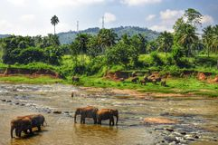 Éléphants en rivière, Sri Lanka Photos stock