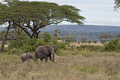 Éléphants en stationnement national de Serengeti, Tanzanie Photos stock