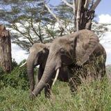 Éléphants en stationnement national de Serengeti, Tanzanie Image libre de droits