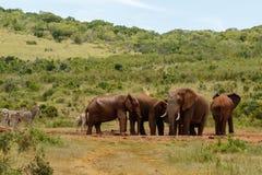 Éléphants ensemble au trou potable photos libres de droits