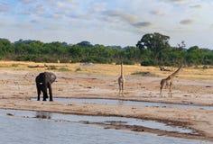 Éléphants et girafes buvant au point d'eau Photographie stock