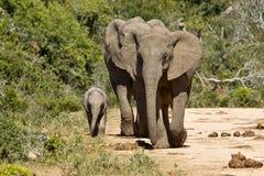 Éléphants et leurs jeunes sur une route de gravier Image stock