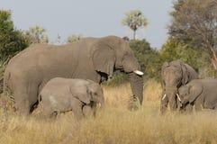 Éléphants et veaux Image libre de droits